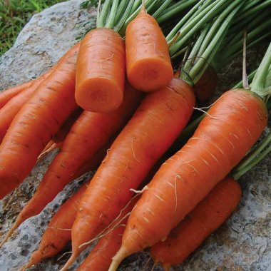 Red Cored Chantenay Carrot Vegetable Seeds AS2055