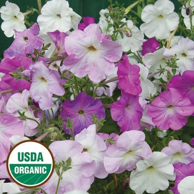 Old-Fashioned Vining Petunia Flower Seeds AS2593