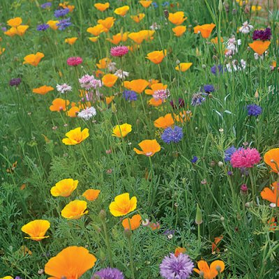 Bird and Butterfly Flower Mix Flower Seeds AS2364