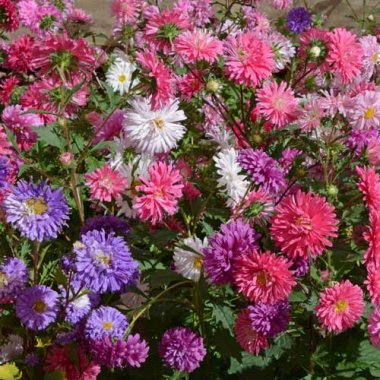 Crego Mix China Aster Flower Flower Seeds AS2359