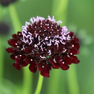 Black Knight Pincushion Flower Flower Seeds AS2367