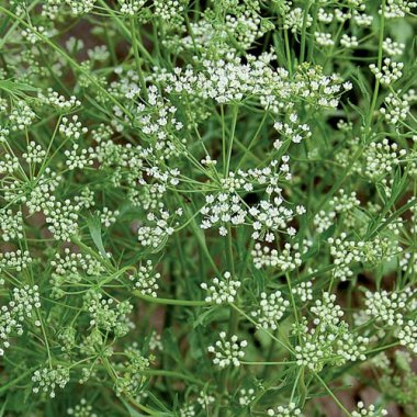 Anise - Out of Stock Herb Seeds AS2421