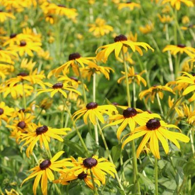 Black-Eyed Susan Flower Seeds AS2383