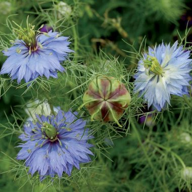 "Love-in-a-Mist ""Miss Jekyll"" Flower Seeds AS2586"