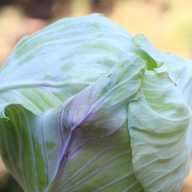 Tancook Island Cabbage Vegetable Seeds AS2048