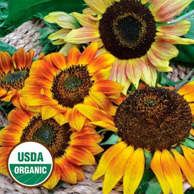 Autumn Beauty Sunflower Flower Seeds AS2402