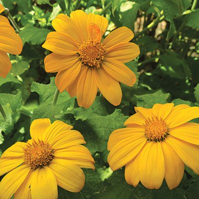 Aztec Sun Sunflower Flower Seeds AS2403