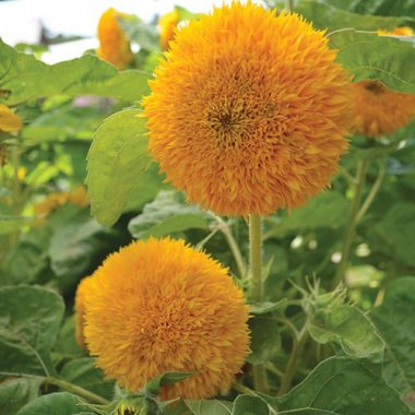 Teddy Bear Sunflower Flower Seeds AS2416