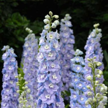 Raider Blue Delphinium Flower Seeds AS2599