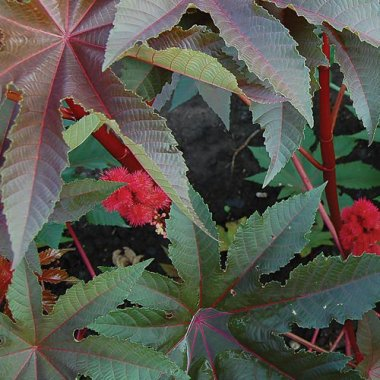 Gibsonii Castor Bean Flower Seeds AS2576
