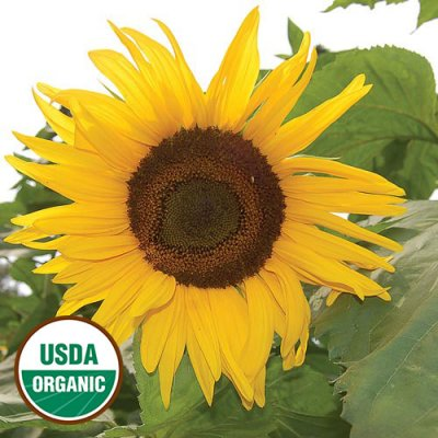 Arikara Sunflower Flower Seeds AS2401