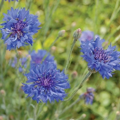 Blue Boy Bachelor's Buttons Flower Seeds AS2369