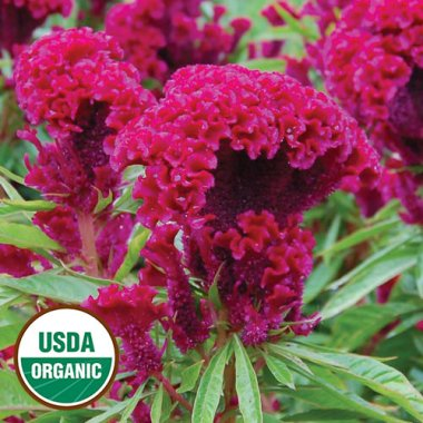 Amish Cockscomb Flower Seeds AS2358
