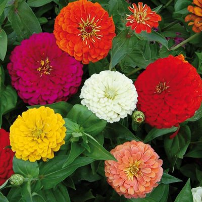 Benary's Giant Zinnia Flower Seeds AS2363