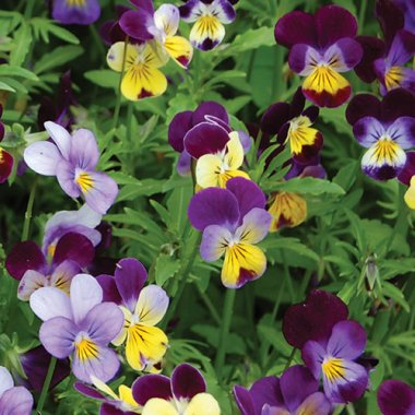 Johnny Jump-Up Flower Seeds AS2584