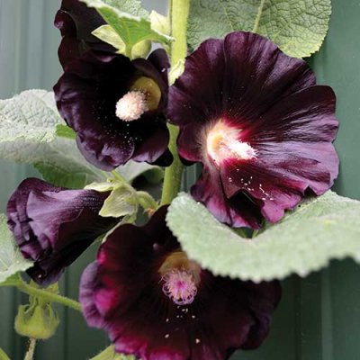 Black Hollyhock Flower Seeds AS2366