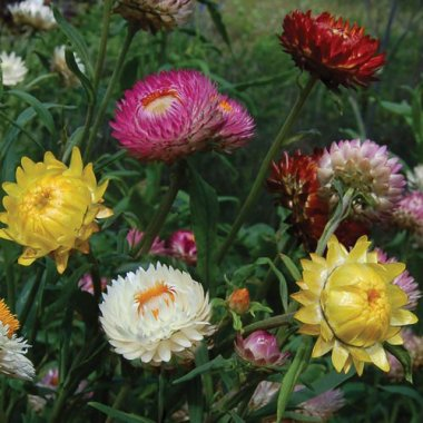 Strawflower Mix Flower Seeds AS2609