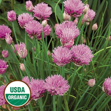 Chives Herb Seeds AS2424