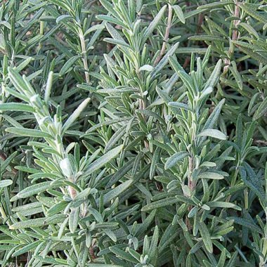 Rosemary Herb Seeds AS2622