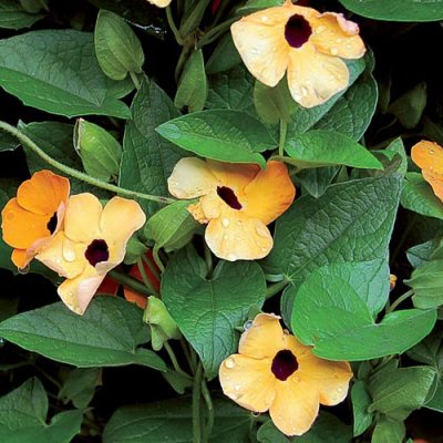 Black-Eyed Susan Vine Flower Seeds AS2365