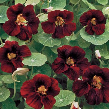 Black Velvet Nasturtium Flower Seeds AS2368