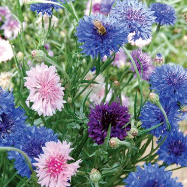 Mixed Bachelor's Buttons Flower Seeds AS2589