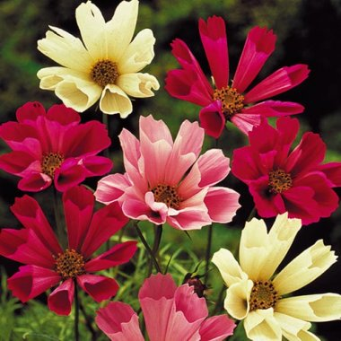 Sea Shells Cosmos Mix Flower Seeds AS2603