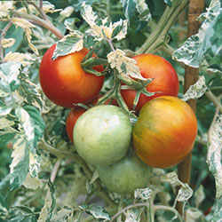 Variegated Tomato Herb Seeds AS2449