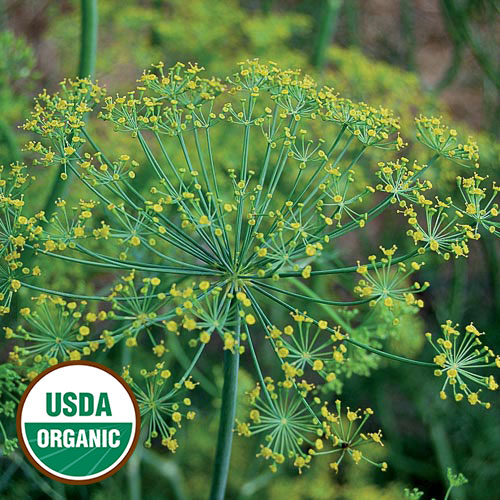 Bouquet Dill Herb Seeds AS2428